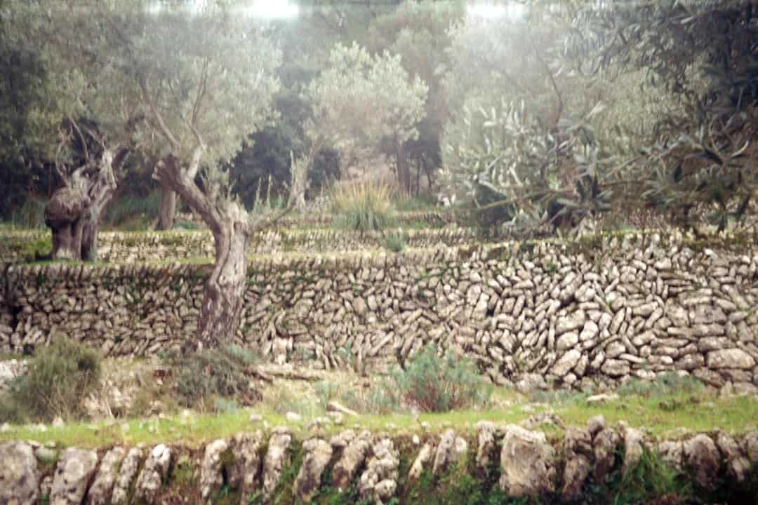 oljčni nasad, star zid, grajen iz kamna