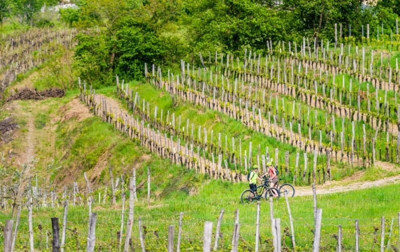 kolesarja med vinogradi Vipavske doline